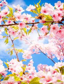 cherry-blossom-spring1