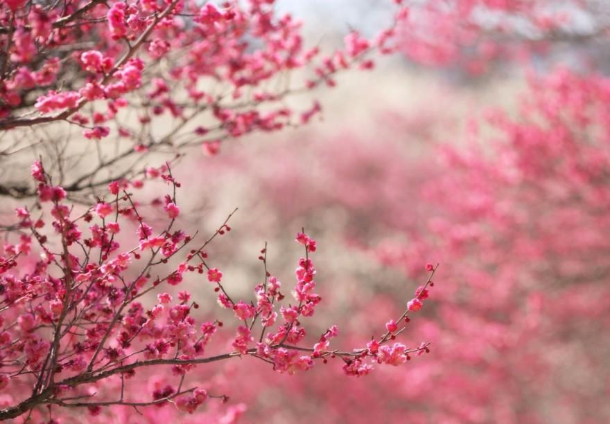 sakura_cherry_blossom