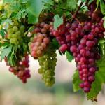 Защо да консумираме грозде?