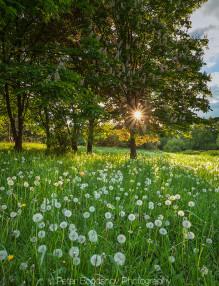 Зелена-поляна-с-глухарчета