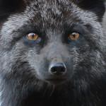 черна лисица