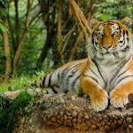 tiger-3525981_960_720