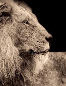 lion-2647437_960_720