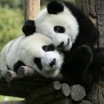 отборът на пандата