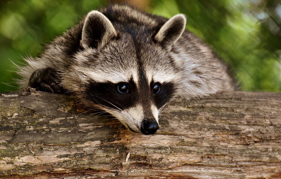 raccoon-3538081_960_720