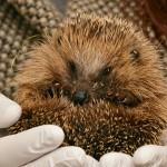 hedgehog-2074143_960_720