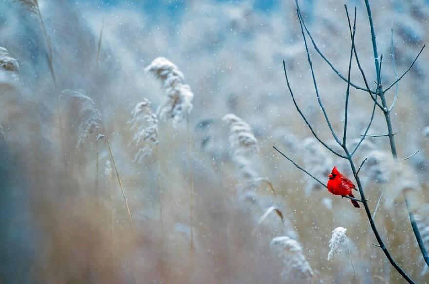 cardinal-1884283_960_720