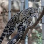 димен леопард
