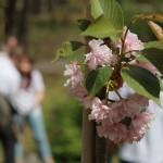 Японски вишни в Борисовата