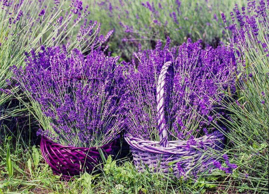 lavender-1478111_960_720-880x635