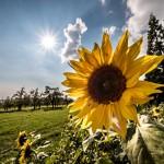 sonnenblume-herbst-september-sonne-wolken-himmel
