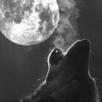 Вълк вие - Вълча луна